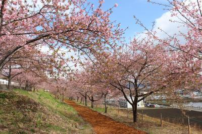 春~よ、来い♪ 群馬・渋川の河津桜を見に行ってみました。