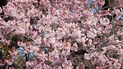 プラザコムに咲く桜花を見せてもらいに行きました その2。