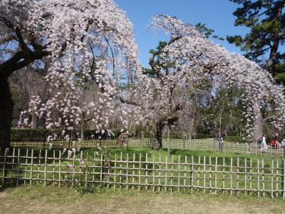 御苑の近衛邸跡の枝垂桜が見ごろとなっていました。すばらしい桜です。