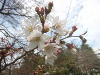 早くも東京でも桜開花 当然まだチョロ咲きだけど砧公園へ今シーズン初の桜を見に行ってきました