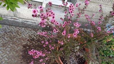 プラザコムに咲く桜花を見せてもらいに行きました その6。