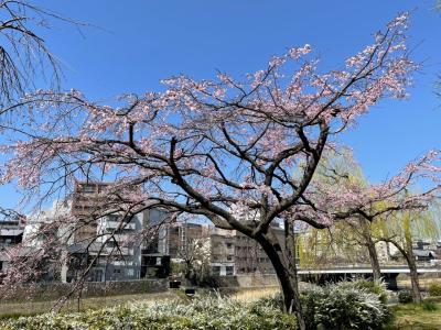 春の京都・東山エリア★ピンクのしだれ桜!満開の鴨川沿いでお花見♪木屋町・清水五条さくらライトアップ★『京都タワー』をバックに桜の木をパチリ