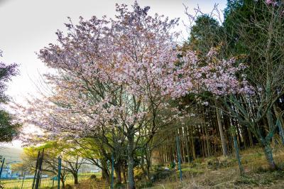 矢部の山桜 2021