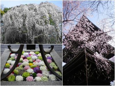 早春の花盛り~京都御苑・六角堂・真如堂~