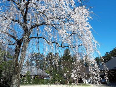 千葉、栄福寺の枝垂れ桜と一人では行けないお店