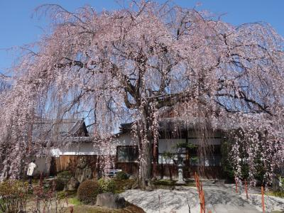 本満寺の枝垂桜も満開でした。