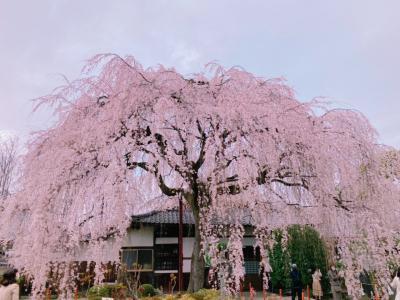京の週末 今年は早いよ!満開の糸桜@京都御苑&本満寺