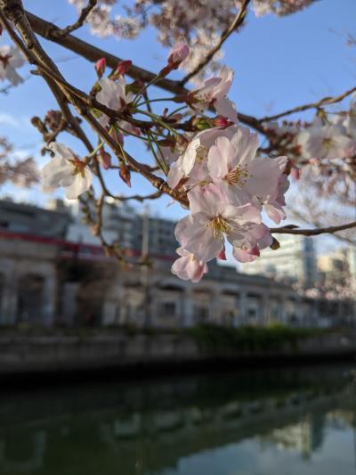 桜が咲いたと思ったら、大雨です!横浜橋商店街で見つけた台湾頑張れ!応援のパイン販売!