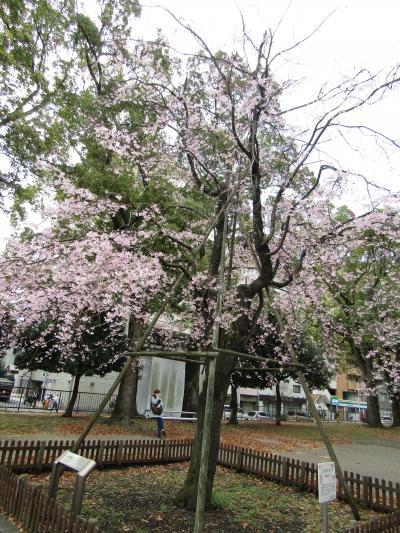 残念な歌丸桜