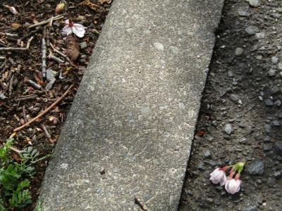 柏尾川の桜並木は野鳥の餌食に