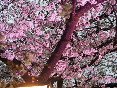 【速報 開花状況】中目黒桜ウォーク!焼肉食べてデザートお持ち帰り