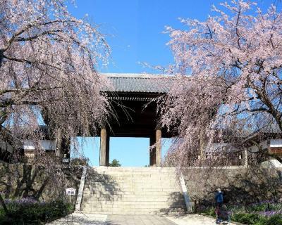 2021年桜だより続報・東京府中市東郷寺の枝垂桜&多摩市の桜