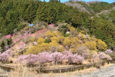 西吉野の枝垂桜  !  五條市・西吉野町
