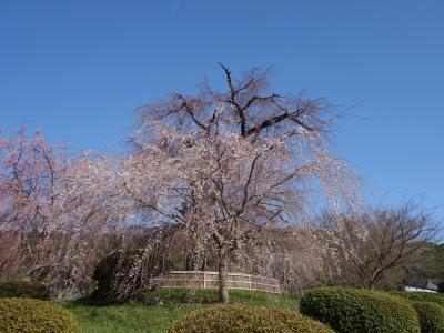 円山公園の例の枝垂桜はまだ咲いていなかった。今年はきれいに咲くかな。