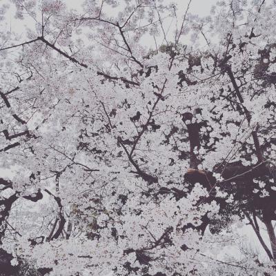 上野公園の桜です。  ポイ旅 poitabi