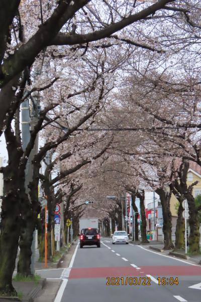 今年初めて桜のトンネルを見ました