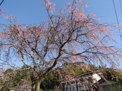 実方家の紅枝垂れ桜は3分咲きです-2021年