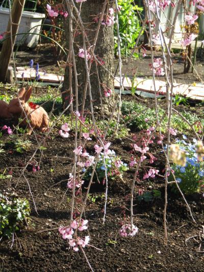 今年見付けた三枚畑の枝垂れ桜が1分咲きです