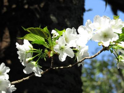 舞岡公園西側尾根の大島桜の並木道-2021年