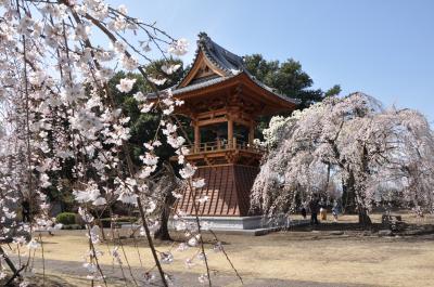滝の慈眼寺でしだれ桜を楽しむ!