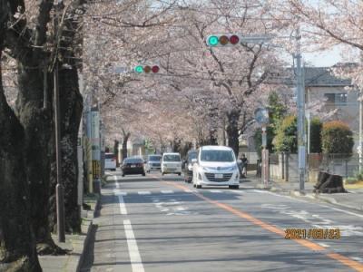 松戸市の八ヶ崎・桜並木
