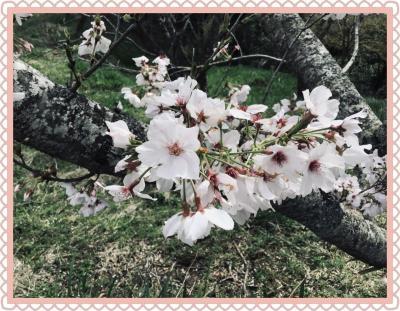 花瀬公園に桜を見に行ってみよう