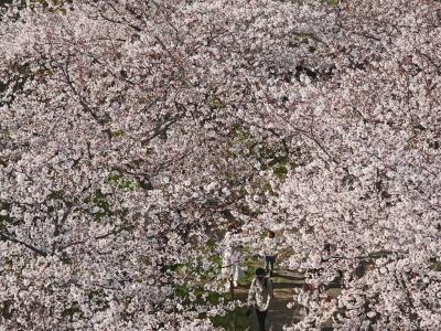 半年ぶりの国内線フライトと桜満開の舞鶴福岡城址公園