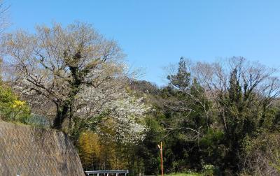 国府津山の桜も開花目前
