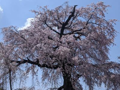 円山公園の枝垂れ桜を見に京都へ