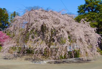 チャリダーアラカン東京西部の桜便り