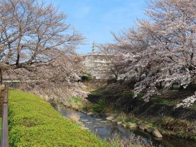 湯殿川沿いの桜 八王子 2021/03/24