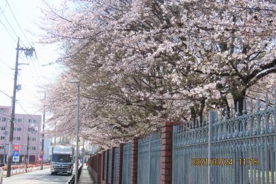 文京学院大学構内の桜が見ごろ