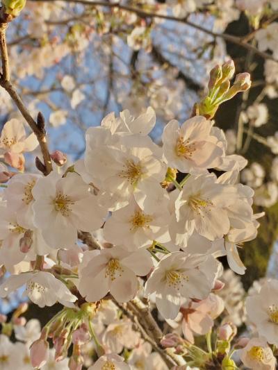 群馬に桜、咲きました!