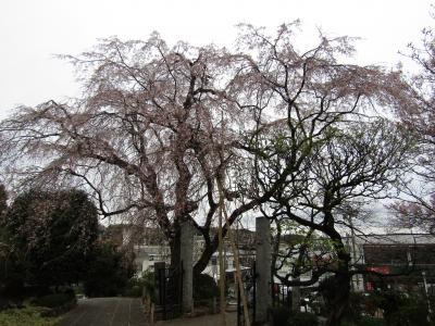 西林寺の枝垂れ桜は桜吹雪です-2021年