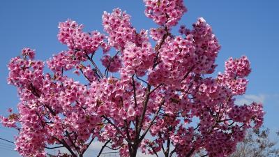 清荒神さんの淡墨桜を途中で忘れ、散髪をして帰りました その03。