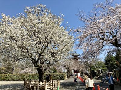 池上本門寺の桜、2021年3月22日。