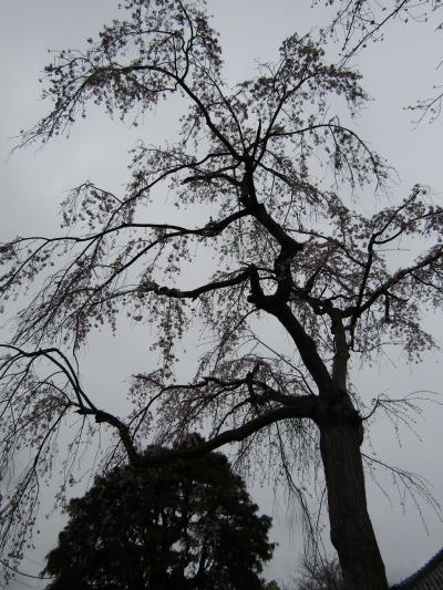 光長寺の枝垂れ桜-2021年