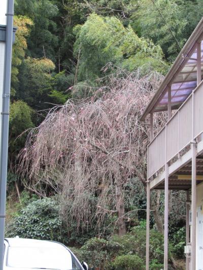 堀内家の紅枝垂れ桜が開花しました-2021年