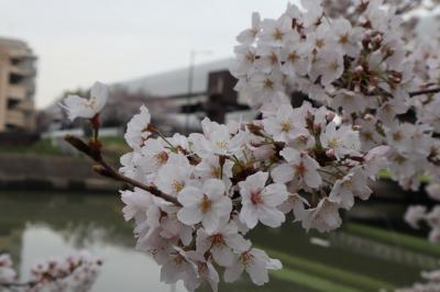 綾瀬川 まつばら綾瀬川公園 札場河岸公園の桜☆2021/03/25