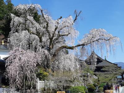 1本1本が大きくて見ごたえたっぷり身延山久遠寺の桜