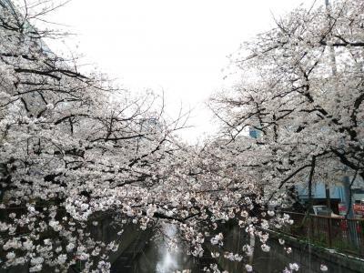 2021年の桜・やっぱり中目(目黒川)は外せない★元住吉~溝の口の桜も合わせて♪