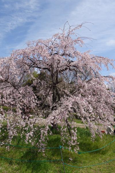 20210322-1 京都 梅小路公園まで散歩に行ってみますと…桜咲いてますのね