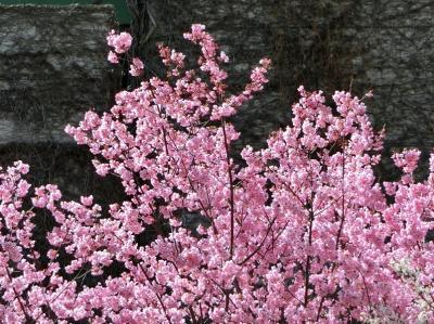 大阪万博記念公園 「染井吉野桜」が咲く前に、「早咲きの桜(陽光桜&彼岸桜&寒緋桜&十月桜)&ハクモクレン」を楽しむ。(2021)