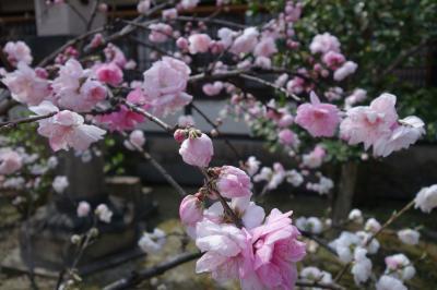 20210322-2 京都 六孫王神社の桜って、どないかな?