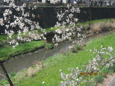 根川緑道B→C→Aから残堀川沿い散歩、週末は満開?