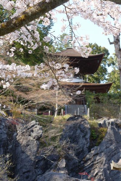 20210324-3 大津 石山寺の桜も綺麗やねぇ