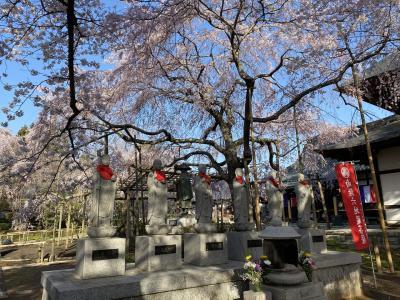 六地蔵の枝垂れ桜