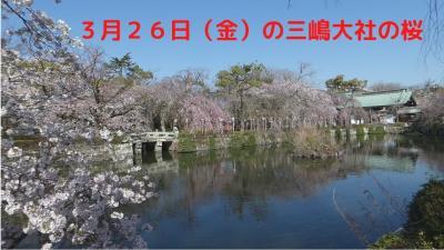 3月26日(金)の三嶋大社の桜
