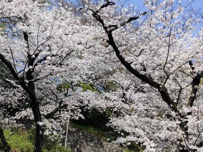 2021年見納め飛鳥山の桜