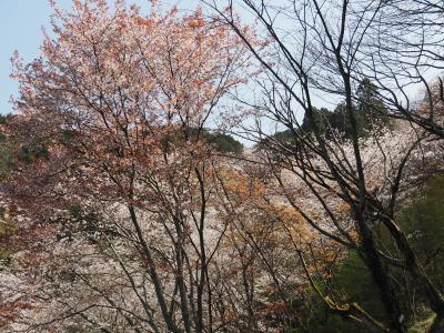 弘川寺で、きれいな桜を満喫